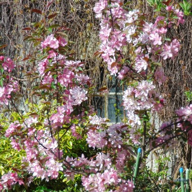 ..............i rajska jabłoń kwitnąca ..................