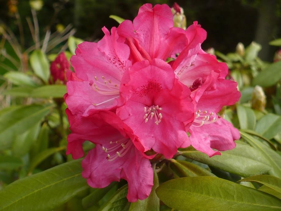 Pozostałe, Majowe love................. - ...............i kwitnący rododendron.............