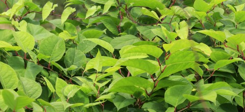 Apteka w ogrodzie: Rdest japoński  (łac. Polygonum cuspidatum, ang. Japanese knotweed)