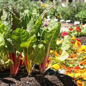 Apteka w ogrodzie: Rośliny pomocnicze w schorzeniach wątroby