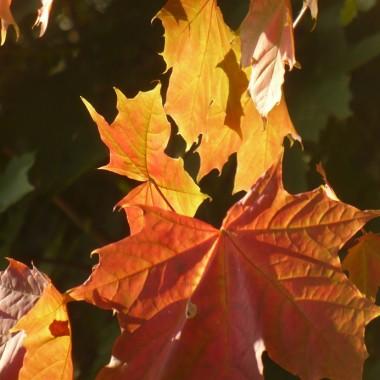 ................i liście czerwienią się w słonku...................