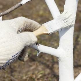 Styczniowe bielenie drzew