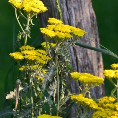 żółty krwawnik upiększa łąkę