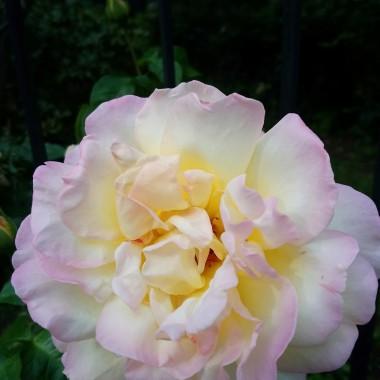 """...............i """"tęczowa """"róża............"""
