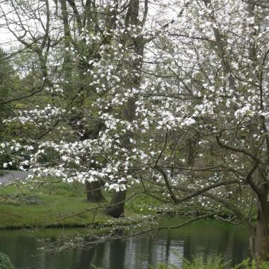 .................i magnolia nad stawem...............