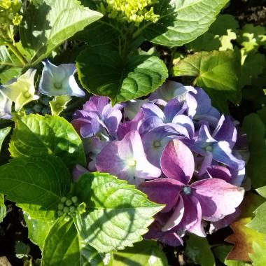 Malutka hortensja ale kwitnie:)