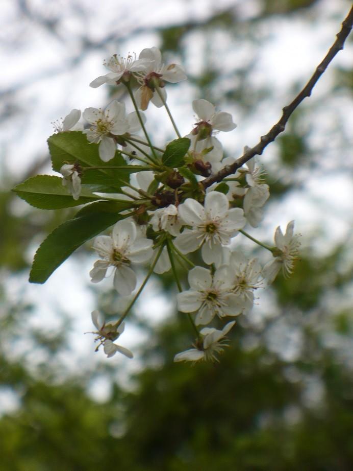 Pozostałe, Majowe love................. - .........i kwiaty wiśni............