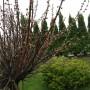 Ogród, Wiosenne ujęcia z ogrodu - migdałek zaraz zakwitnie