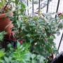 Rośliny, Rosliny - Fuksja, przezyla wyspiarska zime i ma sie dobrze.