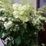 """Ogród, Letnia:))) - Najnowszy nabytek- hortensja """"Fantom"""", na jesień znajdzie miejsce w ogrodzie:)"""