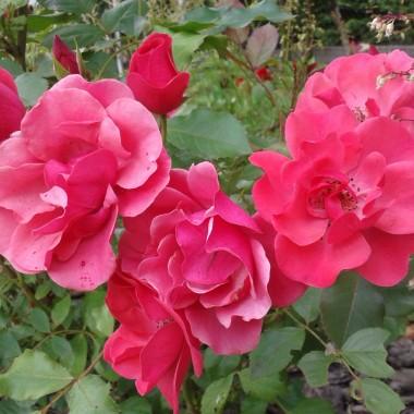 Czerwiec trwa nadal tyle że mamy kolejną porę roku ... LATO JUPI :) Co prawda u mnie pogoda płaczliwa ale myślę że niebawem pojawią się upały :)  Wreszcie nastał czas moich ulubionych kwiatów ... RÓŻE ach to WY :) Okryte kolcami ... rzadko bezbronne.Jeszcze nie wszystkie zakwitły ale to kwestia dni &#x3B;)  Galeria dedykowana Violi &#x3B;) Oczywiście na spacer zapraszam wszystkich :)