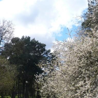 .............i kwitnące drzewko owocowe..................