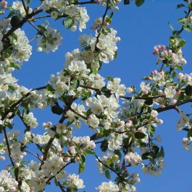 ..............i kwitnąca jabłoń .........