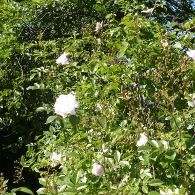 ................i krzew róży...............