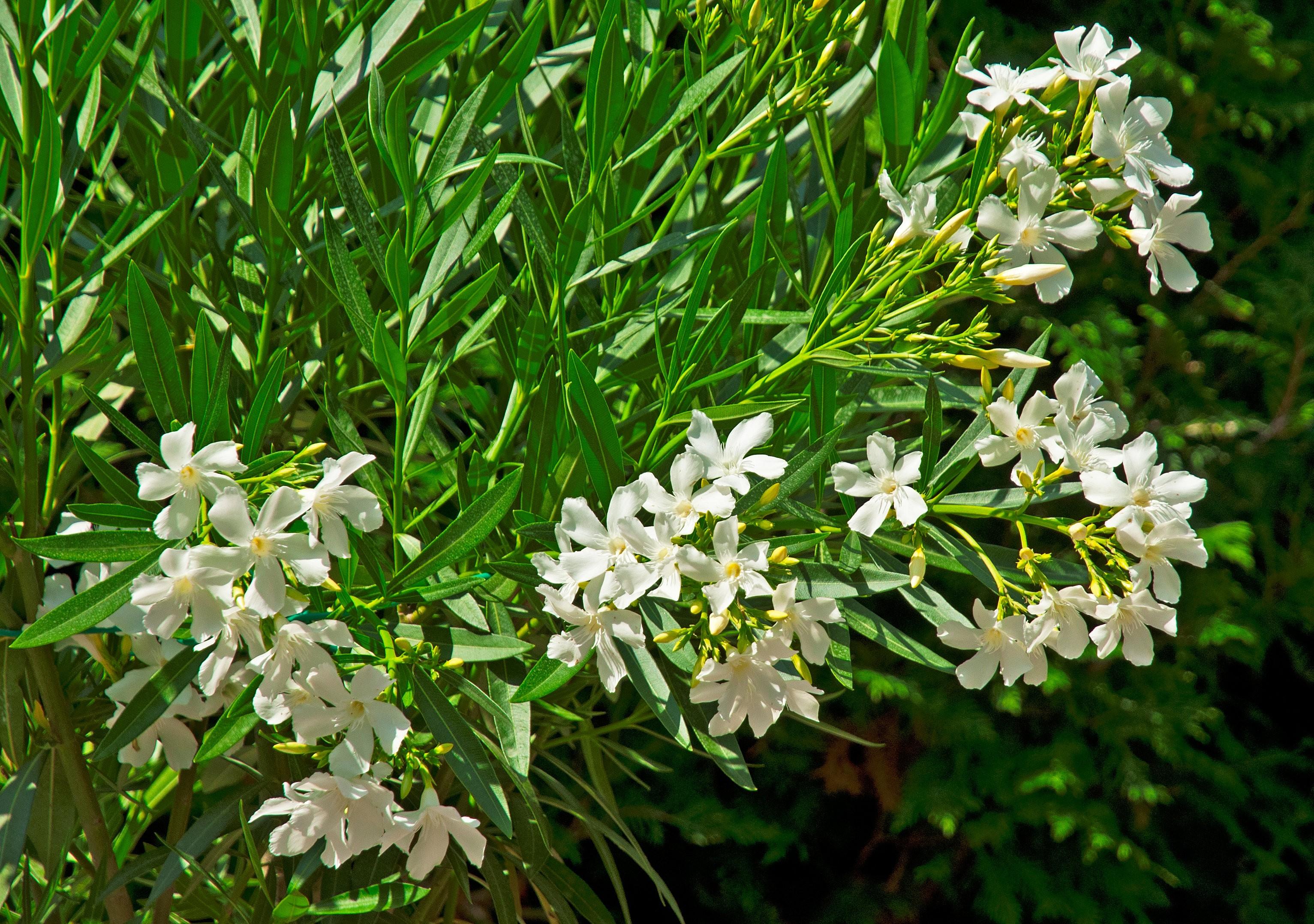 Oleander_białe kwiaty