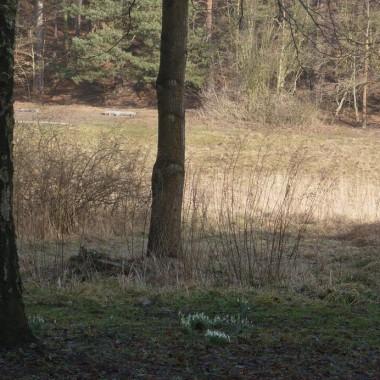 ................i przebiśniegi w lesie................