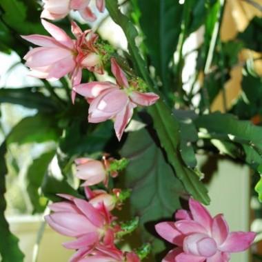 Epifyllum (Epiphyllum Haw.) – rodzaj obejmujący 19 gatunków roślin z rodziny kaktusowatych. Występują w Meksyku i Ameryce Południowej. Rodzaj ten spotyka się także pod dwoma synonimami Phyllocactus i Phyllocereus. U nas niektóre gatunki są uprawiane jako rośliny doniczkowe. Najczęściej spotykane pod postacią hybryd.Takie cudo mi zakwitło :)))