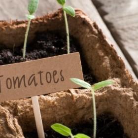 Domowa uprawa pomidorów. Co musisz wiedzieć?
