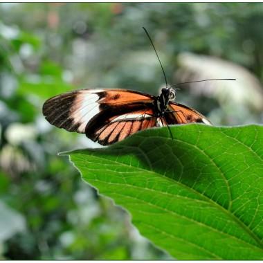 Motyl nazywany Helionconius melpomene  (Postman-Listonosz)