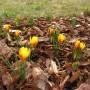 """Rośliny, Przedwiośnie - Crocus grupa: chrysanthus,""""Fuscotinctus"""". Ta kwitnąca wiosną roślina bulwiasta jest odmianą pochodzącego z Turcji gatunku C. chrysanthus. Liście z białym paskiem pośrodku są dłuższe niż u gatunku. Kwiaty stosunkowo niewielkie, cytrynowożółte, na zewnętrznych płatkach mają brązowe żyłki przechodzące w mocno brązowe plamy u podstawy kielicha."""