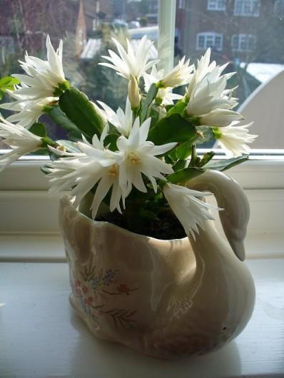Rośliny, ROŚLINY W DOMU I OGRODACH - Łabądkowa impresja z białą wersja kaktusa  bożonarodzeniowego, Grudnika, Zygokaktusa, lub – Schlumbergera truncata