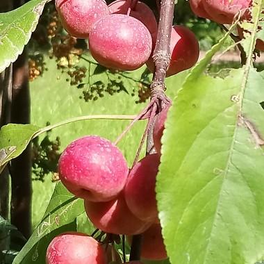 ..................i jabłuszka...............