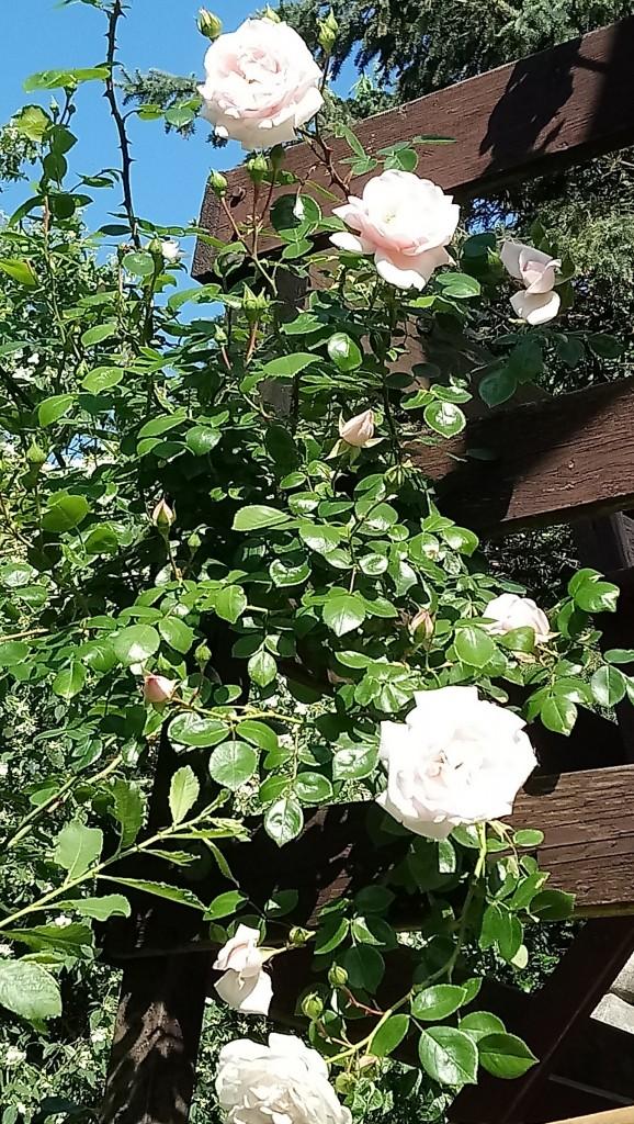 Rośliny, Czerwcowe róże ................. - .................i kolejna róża................