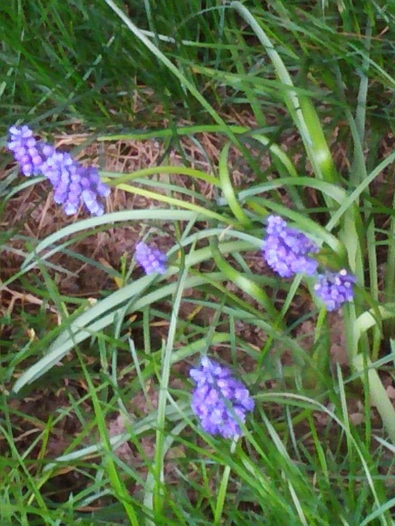Ogród, Wiosenne ujęcia z ogrodu - wiosenne kwiaty cebulowe