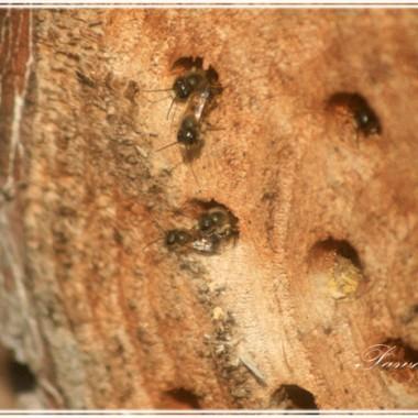 Mijamy hotel dla owadów, tu cierpliwie pracujące pszczoły murarki.