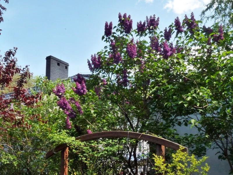 Ogród, Bez, bzy - z moich bzów korzystają też sąsiedzi