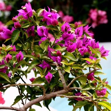 W tym roku moim roslinkom ciepłolubnym pogoda podpasowała ,wszystko kwitnie jak w tropikach ,z czego bardzo się cieszę . Relaks w takim miejscu odpręża nas  ,relaksuje i wycisza. Lubimy spędzacć każdą wolną chwilę. Pozdrawiam Was serdecznie i zyczę pięknego relaksu