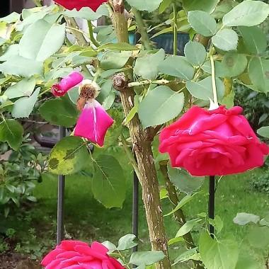 ...................i róże................