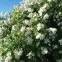 Rośliny, Czerwcowe róże ................. - ................i krzew róży.................