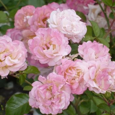 ..............i róże.............