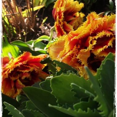 Moje tulipanowe perełki już w ogrodzie &#x3B;