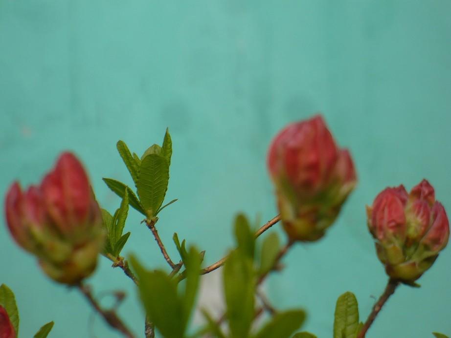 Pozostałe, Majowe love................. - ..........i rododendron e kolorze koralowym ..................