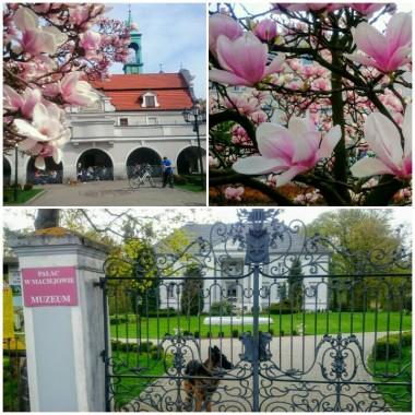 Rowerowo :) Najpiękniej w Kluczborku gdy kwitnie magnolia :)...na trasie również słynący z miodu Maciejów :)