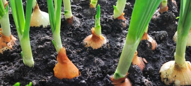 7 roślin, które odrosną z resztek