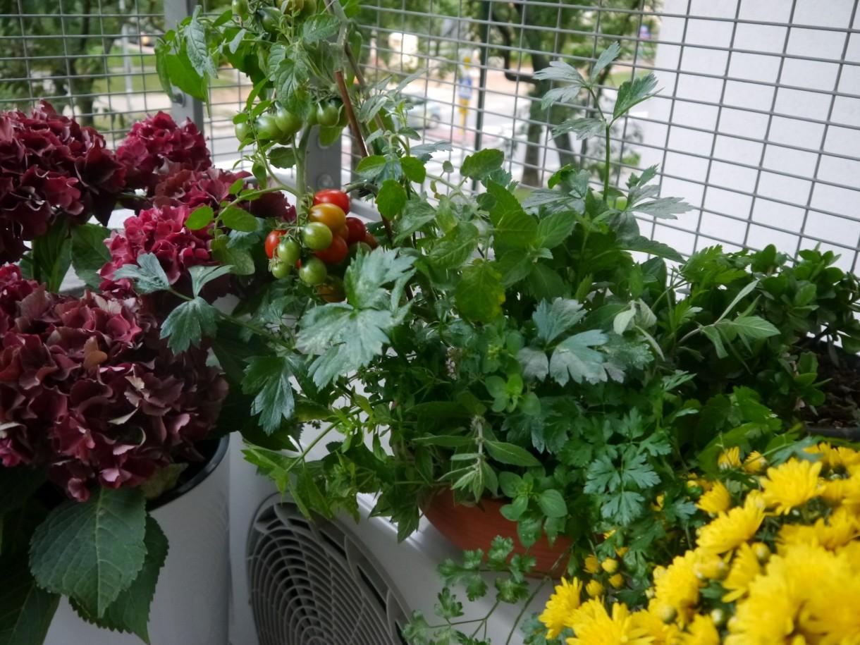 Balkon, Wrześniowy weekend - następne pomidorki pomału zaczynają dojrzewać