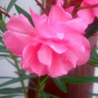 zaczęły kwitnąc oleandry!