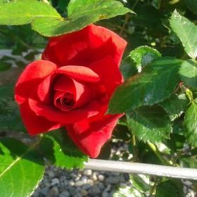 Róże i inne