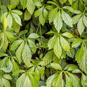 Ziele długowieczności - Gynostemma pentaphyllum