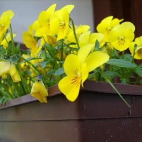 Kwiatki Bratki i Magnolia:)