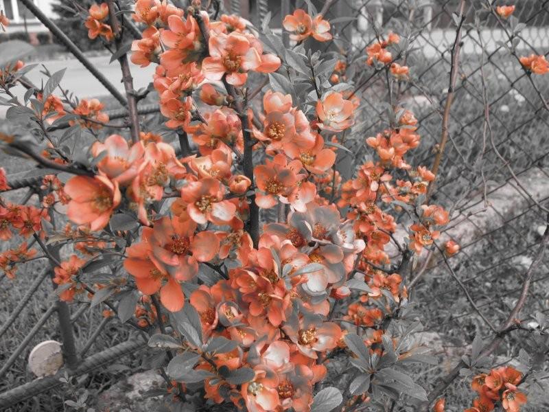 Rośliny, ogród 2 - kwitnąca pigwa