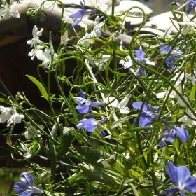 Mój mały ogród na  balkonie..............