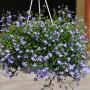 Rośliny, ROSLINKI NA BALKON I DO OGRODKA - LOBELIA PIEKNIE SIE PREZENTUJE W WISZACYCH DONICZKACH