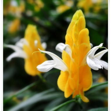 Pachystachys Żółty
