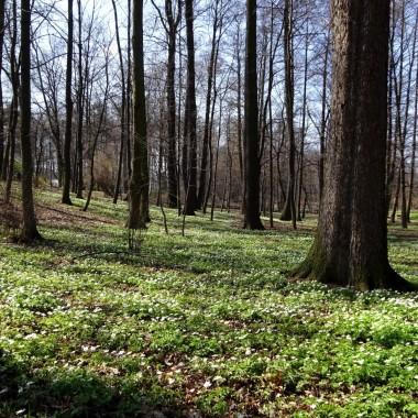 Relacji z wiosennych spacerów teraz sporo, lecz ten widok zaskoczył i mnie.