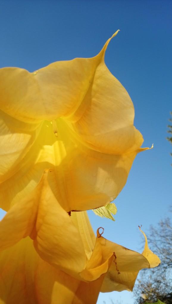 Rośliny, Wrześniowe fotki.................... - ......................i kwiat datury..................