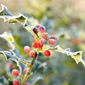 Ostrokrzew - krzew królowej zimy :)